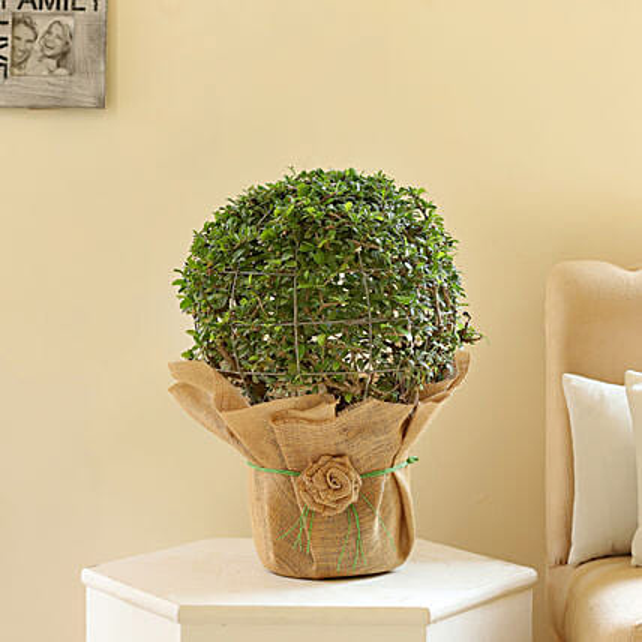 Ball Shaped Carmona Bonsai Plant: Rare Plant Gifts