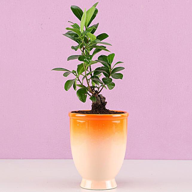 Ficus Bonsai Plant in Orange Ombre Venetian Vase: Bonsai Plants
