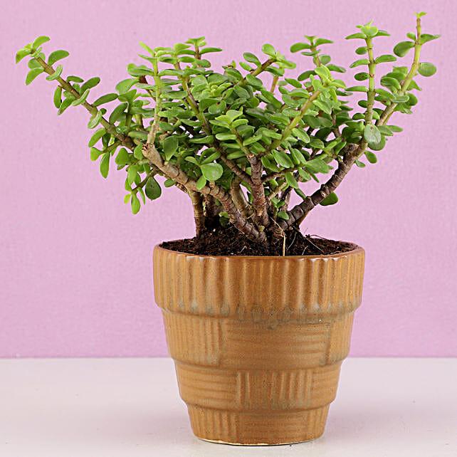 Jade Plant in Haiti Ceramic Mocha Brown Pot: Plants Delivery