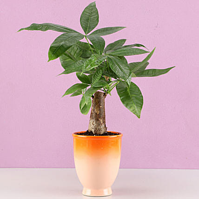 Pachira Bonsai Plant in Orange Ombre Venetian Vase: Bonsai Plants