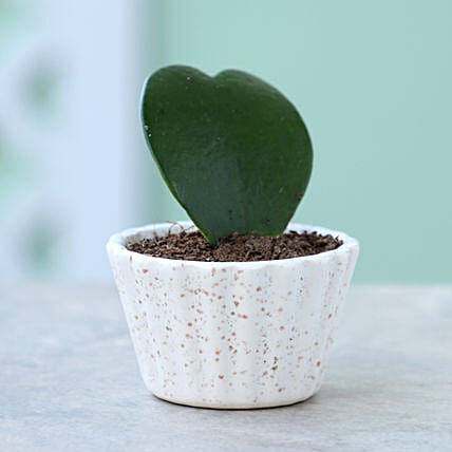 Hoya Plant In Ceramic Lining Pot: