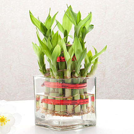 Bringing Good Luck 2 Layer Bamboo: Send Plants to Navi Mumbai