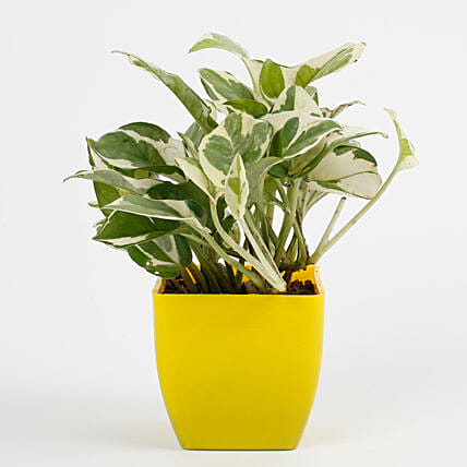 White Pothos Plant in Imported Plastic Pot: Tropical Plants