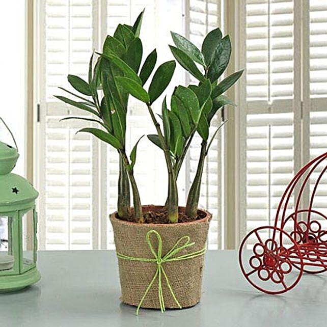 Zamia Plant: Rare Plants