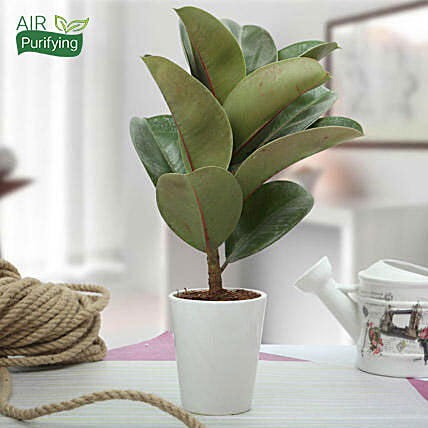 7 Best Household Plants According To Vastu - Ferns N Petals House Plant Rubber on rubber plant light requirements, india rubber plant, rubber tree plant, rubber plant care tips, rubber floor covering, rubber succulents, rubber leaf plant, rubber freeze plug, tall rubber plant, rubber patio, baby rubber plant, green rubber plant, jade plant, rubber paint coating, american rubber plant, rubber looking plant, rubber plank flooring, rubber fruit plant, outdoor rubber plant,